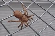 Spinnen Gitter aus verzinktem Stahl und einer Bronzespinne