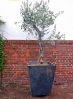 Pflanzgefäß aus Stahl für einen Olivenbaum